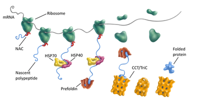 Protein folding by the chaperones