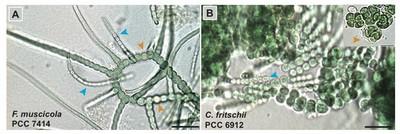 heterocystous-cyanobacteria