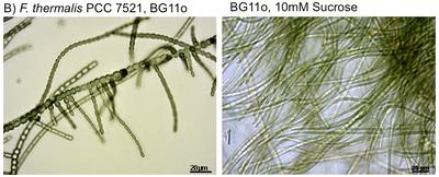 Cyanobacteria phenotypes